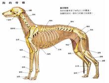 狗的骨骼结构