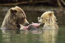 加拿大熊妈妈教幼崽捕鱼