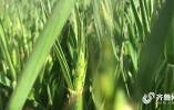 济南一道路绿化带种上小麦!网友:很新奇,以后可以试试种大葱