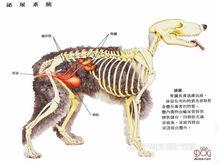 狗的泌尿系统