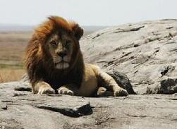 安波塞利国家公园狮子