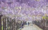 最美人间四月天!句容百米紫藤长廊花开如瀑