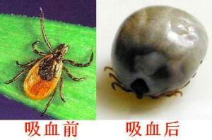 蜱虫吸血前后体型对比