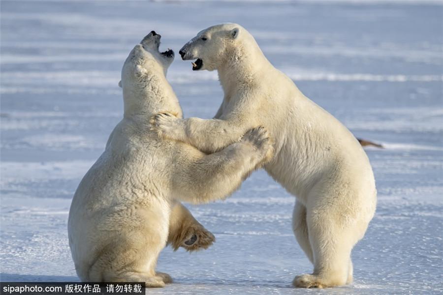 嘴掌并用!两只北极熊互相推搡打闹画面十分逗趣