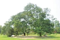 黑荆树外观