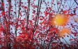 枫叶红芦花白 各地秋景让人醉 还有一波冷空气正在派送中