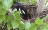 喜鹊夫妇小区安家 市民1个月实拍喜鹊编窝、产蛋、孵雏、觅食……