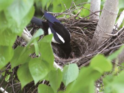 喜鵲夫婦小區安家 市民1個月實拍喜鵲編窩、產蛋、孵雛、覓食……
