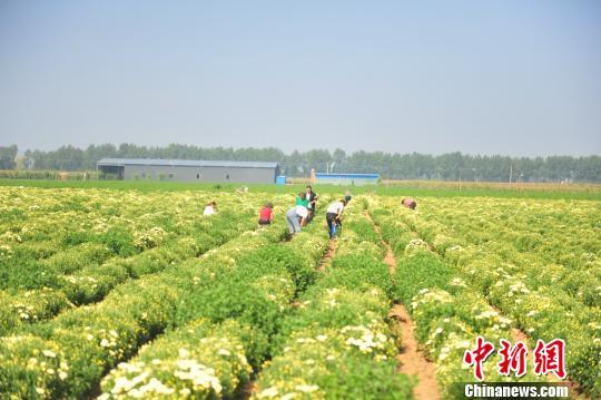 山西农村玉米地种花亩均增收4000余元 采摘时节无一闲劳力