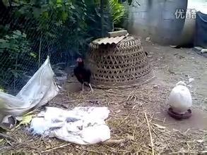 《毛驴县令之母鸡打鸣》剧照