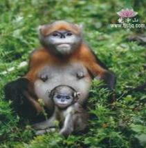 梵净山金丝猴