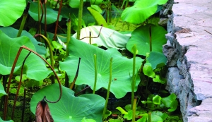 南京玄武湖沿岸荷花荷叶遭偷采 很多成光杆
